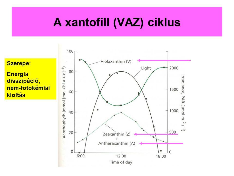 A xantofill (VAZ) ciklus Szerepe: Energia disszipáció, nem-fotokémiai kioltás