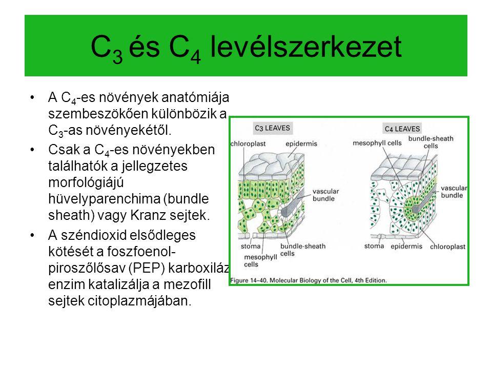 C 3 és C 4 levélszerkezet A C 4 -es növények anatómiája szembeszökően különbözik a C 3 -as növényekétől. Csak a C 4 -es növényekben találhatók a jelle