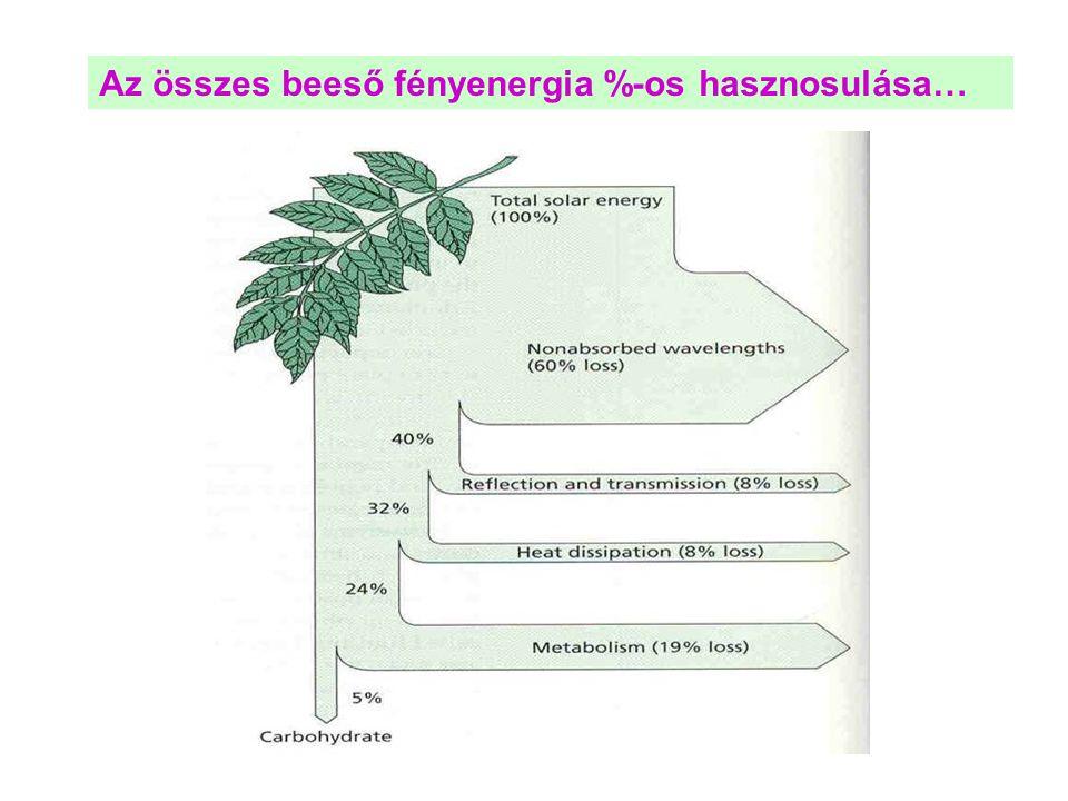 C 3 -as és C 4 -es növények fotoszintézise a fényintenzitás (A) és az intercelluláris tér CO 2 koncentrációjának (B) függvényében Fényintenzitás A B C-3 C-4