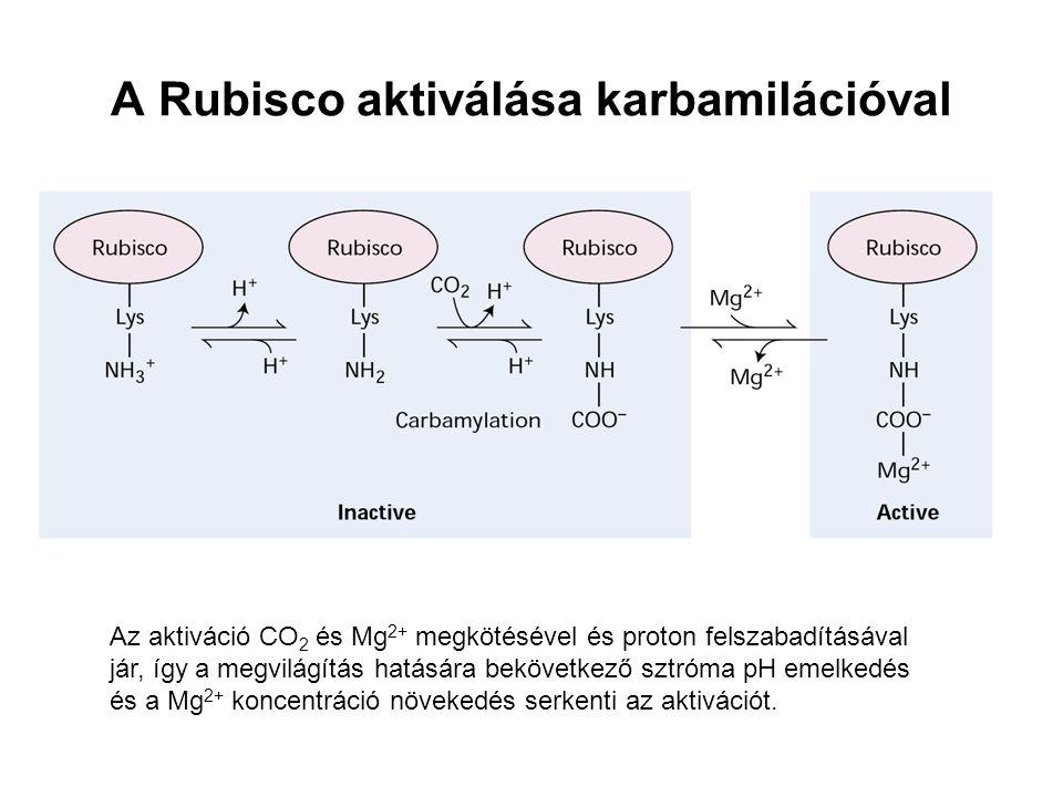 A Rubisco aktiválása karbamilációval Az aktiváció CO 2 és Mg 2+ megkötésével és proton felszabadításával jár, így a megvilágítás hatására bekövetkező