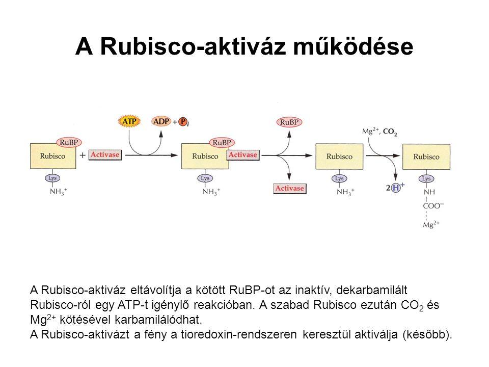 A Rubisco-aktiváz működése A Rubisco-aktiváz eltávolítja a kötött RuBP-ot az inaktív, dekarbamilált Rubisco-ról egy ATP-t igénylő reakcióban. A szabad