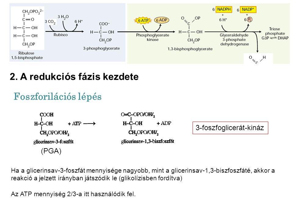 3-foszfoglicerát-kináz Ha a glicerinsav-3-foszfát mennyisége nagyobb, mint a glicerinsav-1,3-biszfoszfáté, akkor a reakció a jelzett irányban játszódi