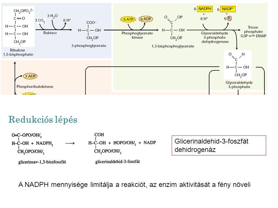 Glicerinaldehid-3-foszfát dehidrogenáz Redukciós lépés A NADPH mennyisége limitálja a reakciót, az enzim aktivitását a fény növeli