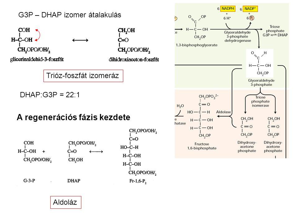 G3P – DHAP izomer átalakulás Trióz-foszfát izomeráz DHAP:G3P = 22:1 Aldoláz A regenerációs fázis kezdete