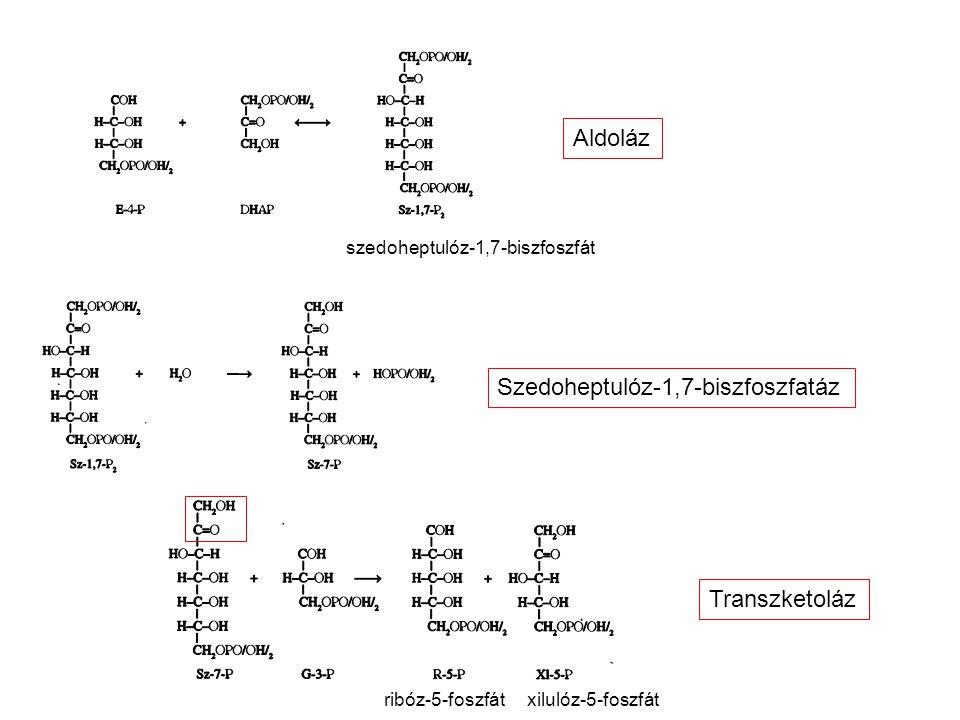 szedoheptulóz-1,7-biszfoszfát Aldoláz Szedoheptulóz-1,7-biszfoszfatáz Transzketoláz ribóz-5-foszfátxilulóz-5-foszfát