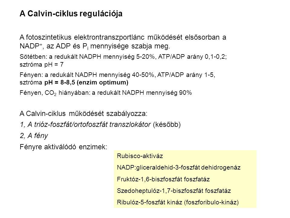 A Calvin-ciklus regulációja A fotoszintetikus elektrontranszportlánc működését elsősorban a NADP +, az ADP és P i mennyisége szabja meg. Sötétben: a r