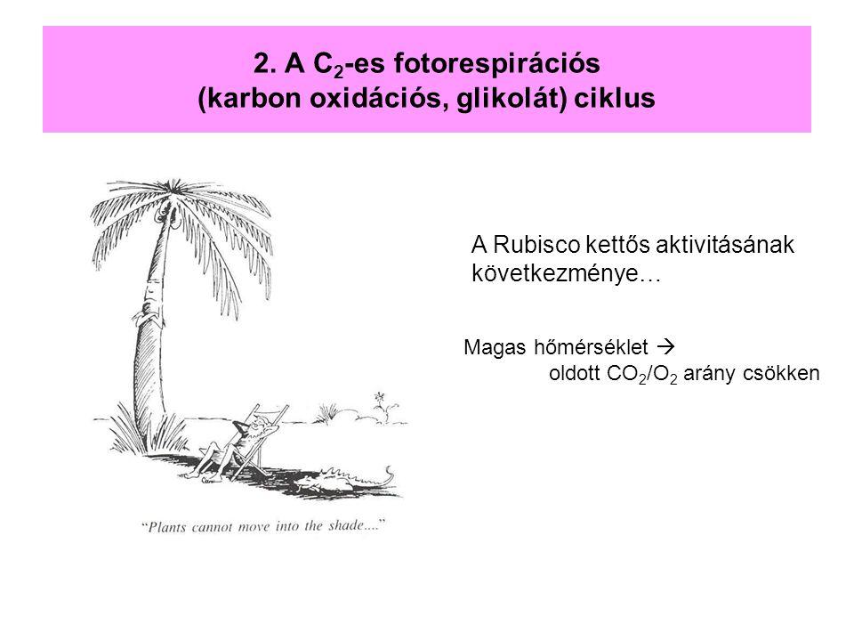 2. A C 2 -es fotorespirációs (karbon oxidációs, glikolát) ciklus A Rubisco kettős aktivitásának következménye… Magas hőmérséklet  oldott CO 2 /O 2 ar