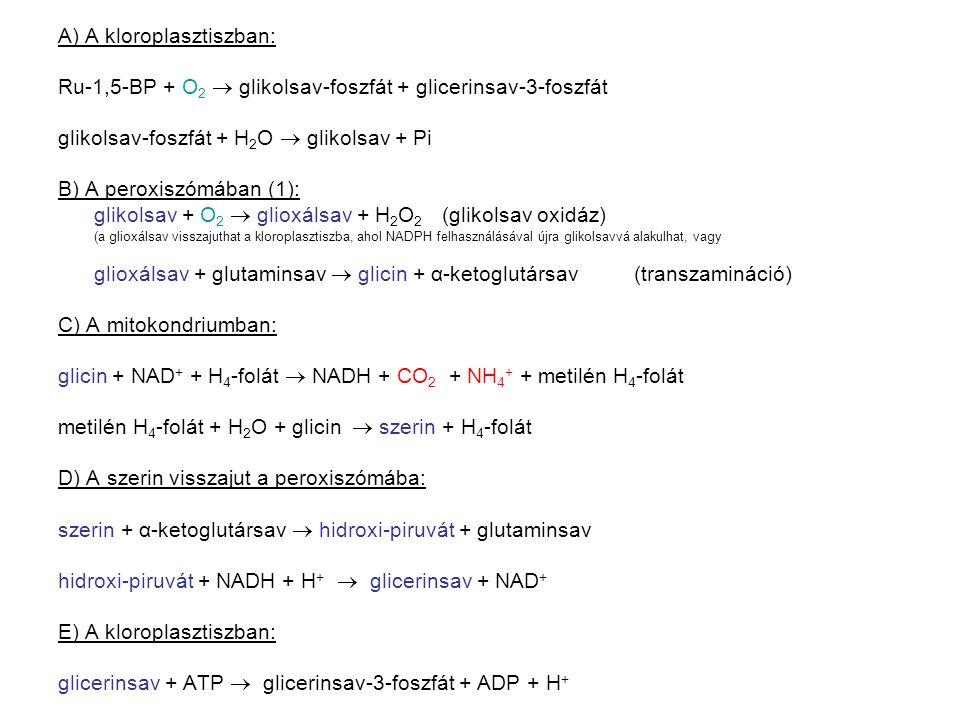 A) A kloroplasztiszban: Ru-1,5-BP + O 2  glikolsav-foszfát + glicerinsav-3-foszfát glikolsav-foszfát + H 2 O  glikolsav + Pi B) A peroxiszómában (1)