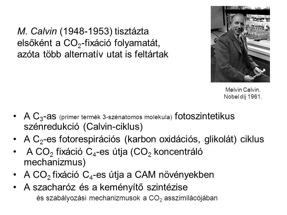 A C 3 -as (primer termék 3-szénatomos molekula) fotoszintetikus szénredukció (Calvin-ciklus) A C 2 -es fotorespirációs (karbon oxidációs, glikolát) ci
