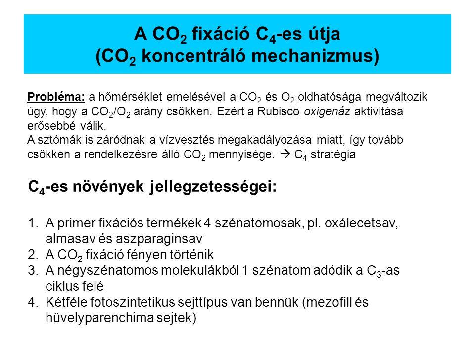 A CO 2 fixáció C 4 -es útja (CO 2 koncentráló mechanizmus) C 4 -es növények jellegzetességei: 1.A primer fixációs termékek 4 szénatomosak, pl. oxálece
