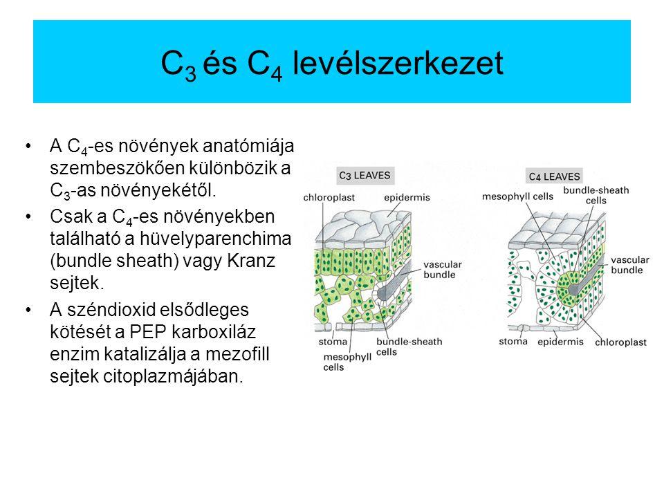 C 3 és C 4 levélszerkezet A C 4 -es növények anatómiája szembeszökően különbözik a C 3 -as növényekétől. Csak a C 4 -es növényekben található a hüvely