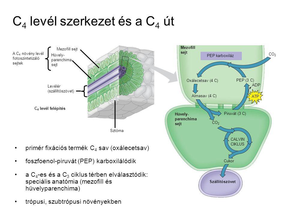 C 4 levél szerkezet és a C 4 út CO 2 Mezofill sejt Hüvely- parenchima sejt Levélér (szállítószövet) A C 4 növény levél fotoszintetizáló sejtek Sztóma