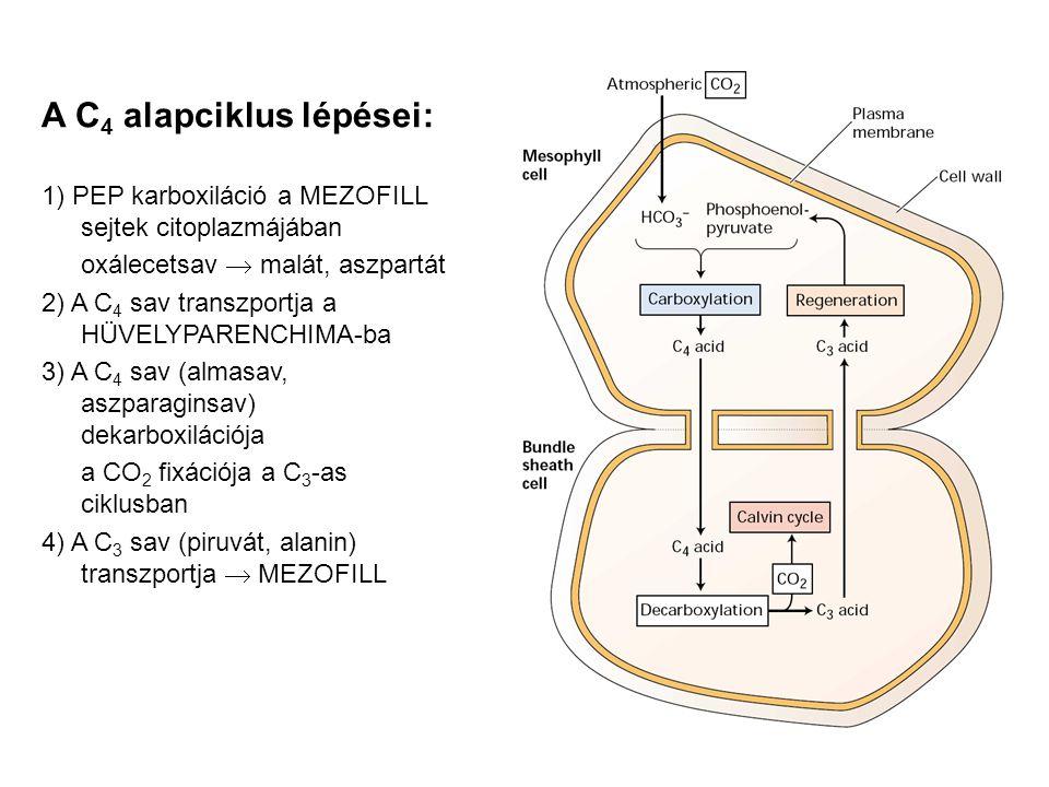 A C 4 alapciklus lépései: 1) PEP karboxiláció a MEZOFILL sejtek citoplazmájában oxálecetsav  malát, aszpartát 2) A C 4 sav transzportja a HÜVELYPAREN