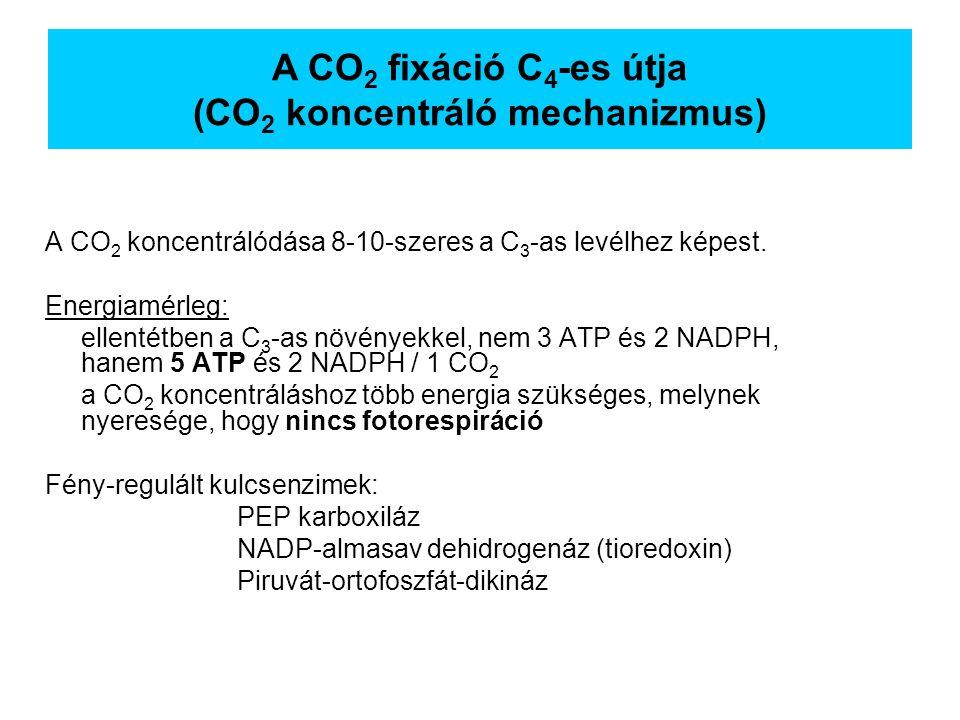 A CO 2 koncentrálódása 8-10-szeres a C 3 -as levélhez képest. Energiamérleg: ellentétben a C 3 -as növényekkel, nem 3 ATP és 2 NADPH, hanem 5 ATP és 2