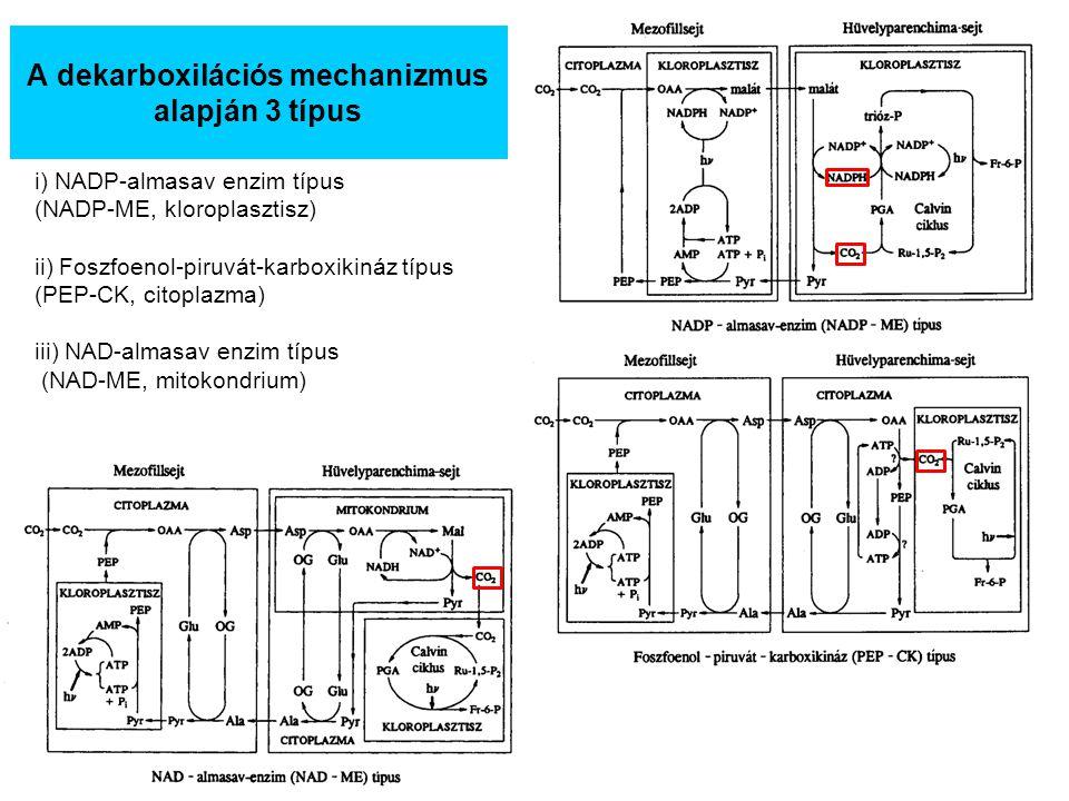 A dekarboxilációs mechanizmus alapján 3 típus i) NADP-almasav enzim típus (NADP-ME, kloroplasztisz) ii) Foszfoenol-piruvát-karboxikináz típus (PEP-CK,