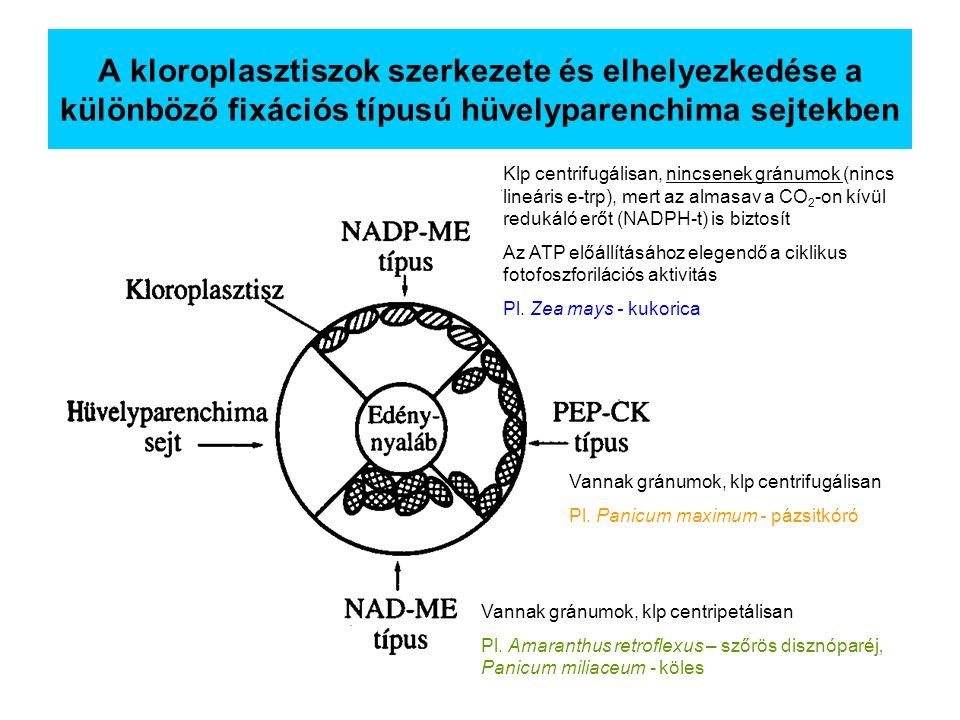 A kloroplasztiszok szerkezete és elhelyezkedése a különböző fixációs típusú hüvelyparenchima sejtekben Klp centrifugálisan, nincsenek gránumok (nincs