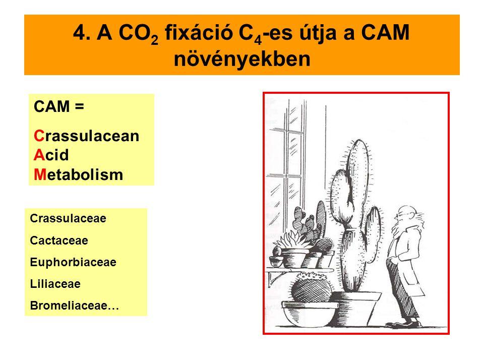 4. A CO 2 fixáció C 4 -es útja a CAM növényekben CAM = Crassulacean Acid Metabolism Crassulaceae Cactaceae Euphorbiaceae Liliaceae Bromeliaceae…