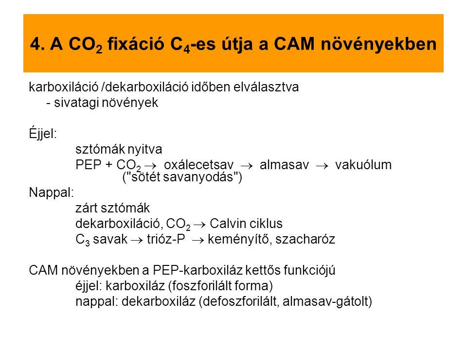 4. A CO 2 fixáció C 4 -es útja a CAM növényekben karboxiláció /dekarboxiláció időben elválasztva - sivatagi növények Éjjel: sztómák nyitva PEP + CO 2