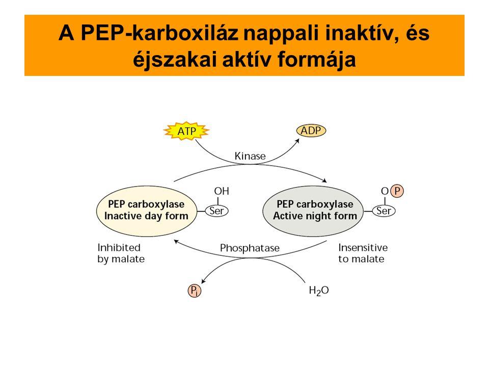 A PEP-karboxiláz nappali inaktív, és éjszakai aktív formája
