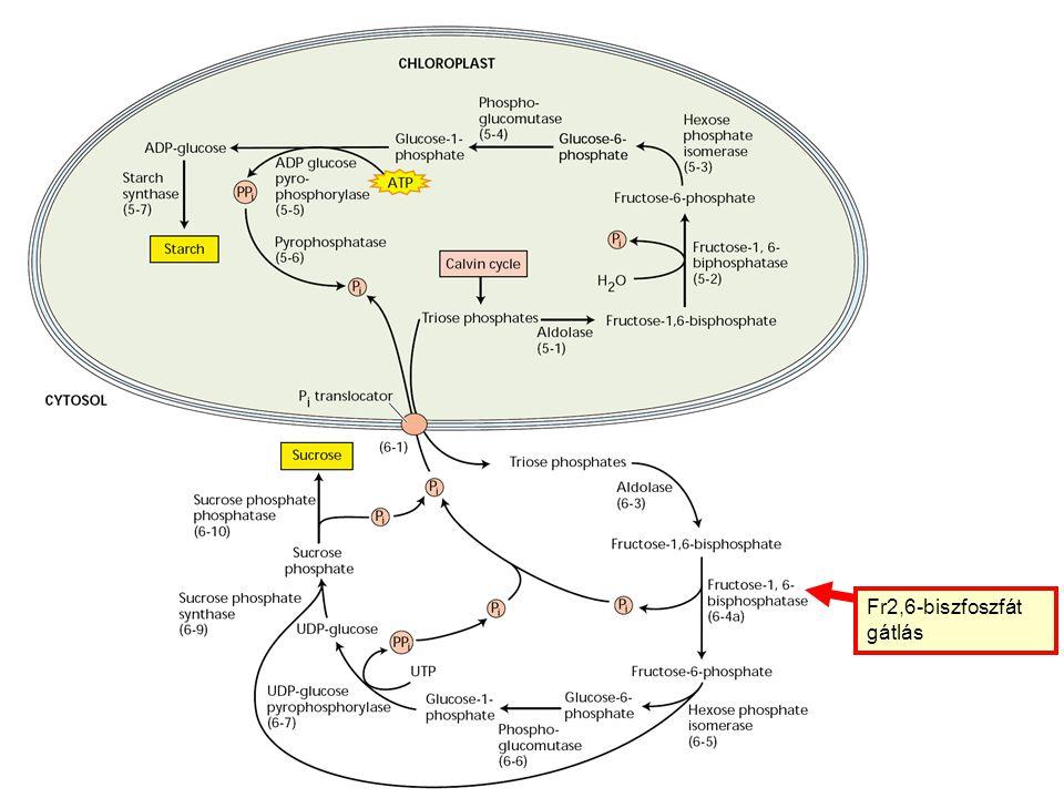 Fr2,6-biszfoszfát gátlás