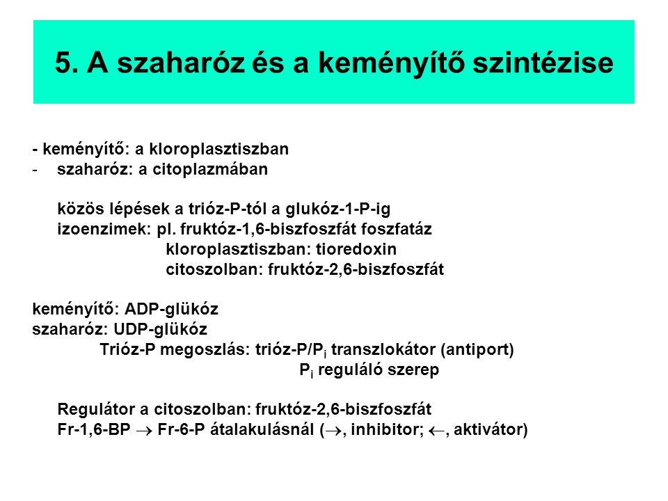 5. A szaharóz és a keményítő szintézise - keményítő: a kloroplasztiszban -szaharóz: a citoplazmában közös lépések a trióz-P-tól a glukóz-1-P-ig izoenz