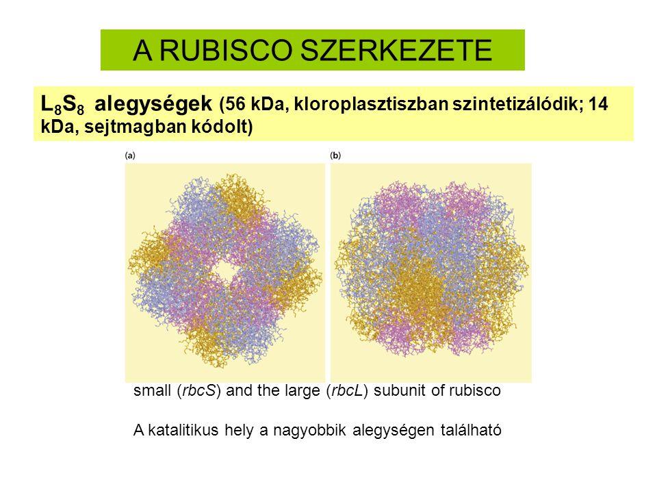 A RUBISCO SZERKEZETE L 8 S 8 alegységek (56 kDa, kloroplasztiszban szintetizálódik; 14 kDa, sejtmagban kódolt) small (rbcS) and the large (rbcL) subun