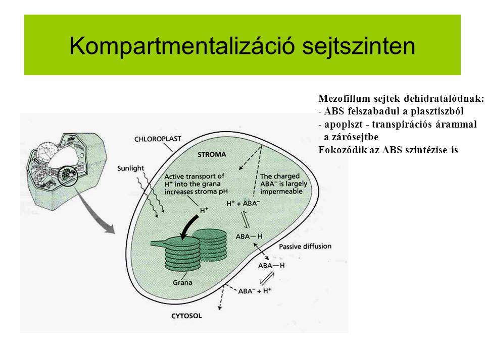 Kompartmentalizáció sejtszinten Mezofillum sejtek dehidratálódnak: - ABS felszabadul a plasztiszból - apoplszt - transpirációs árammal a zárósejtbe Fo