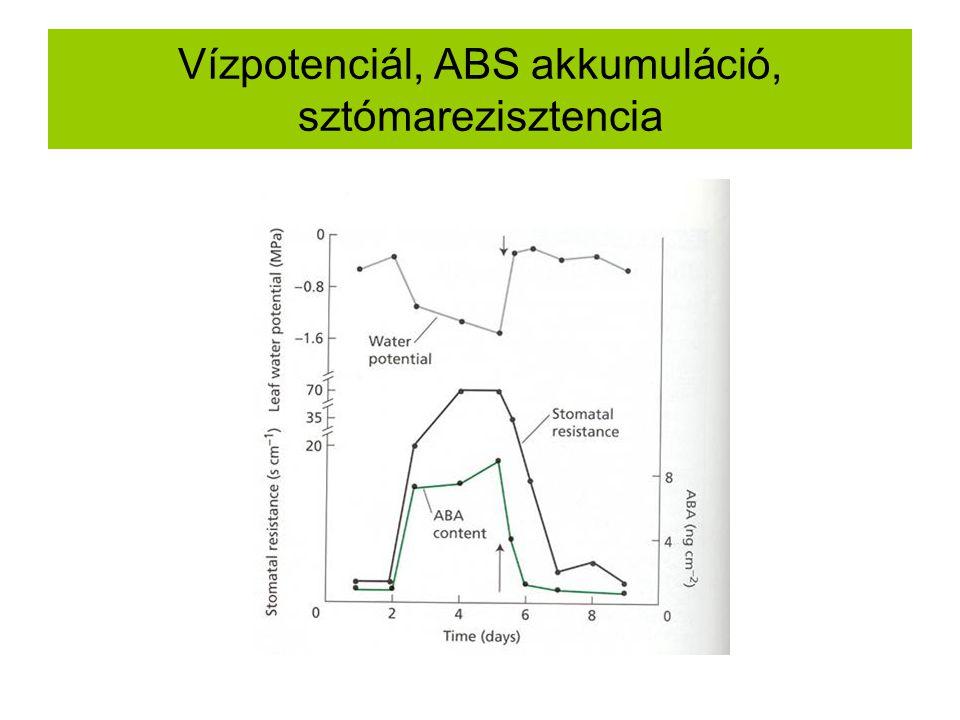 Vízpotenciál, ABS akkumuláció, sztómarezisztencia