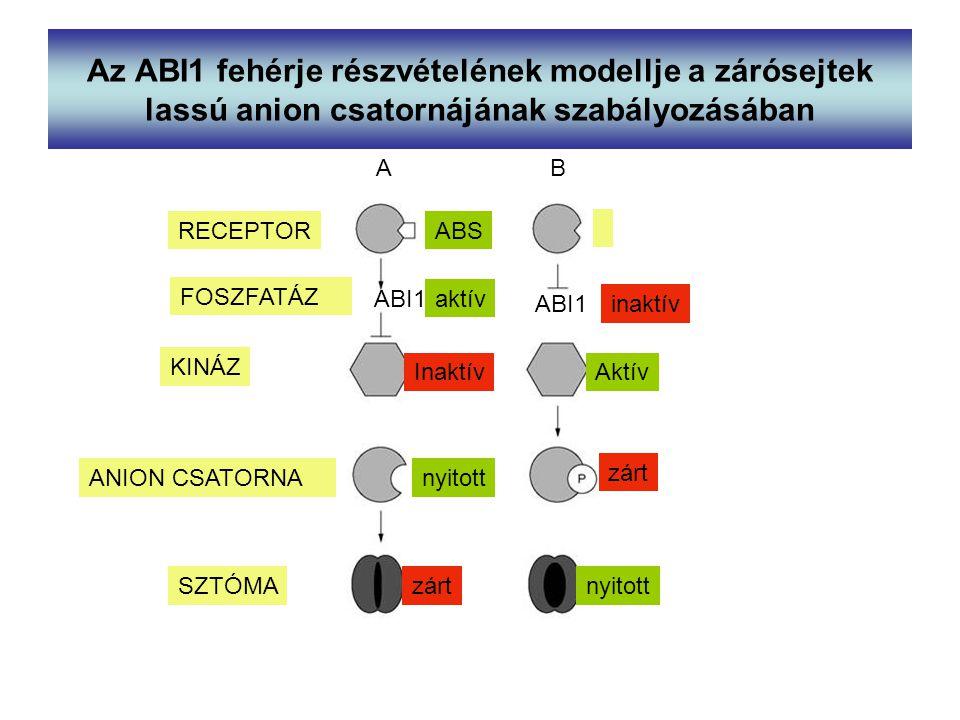 Az ABI1 fehérje részvételének modellje a zárósejtek lassú anion csatornájának szabályozásában AB ABS ABI1 InaktívAktív ABI1 KINÁZ ANION CSATORNA SZTÓM