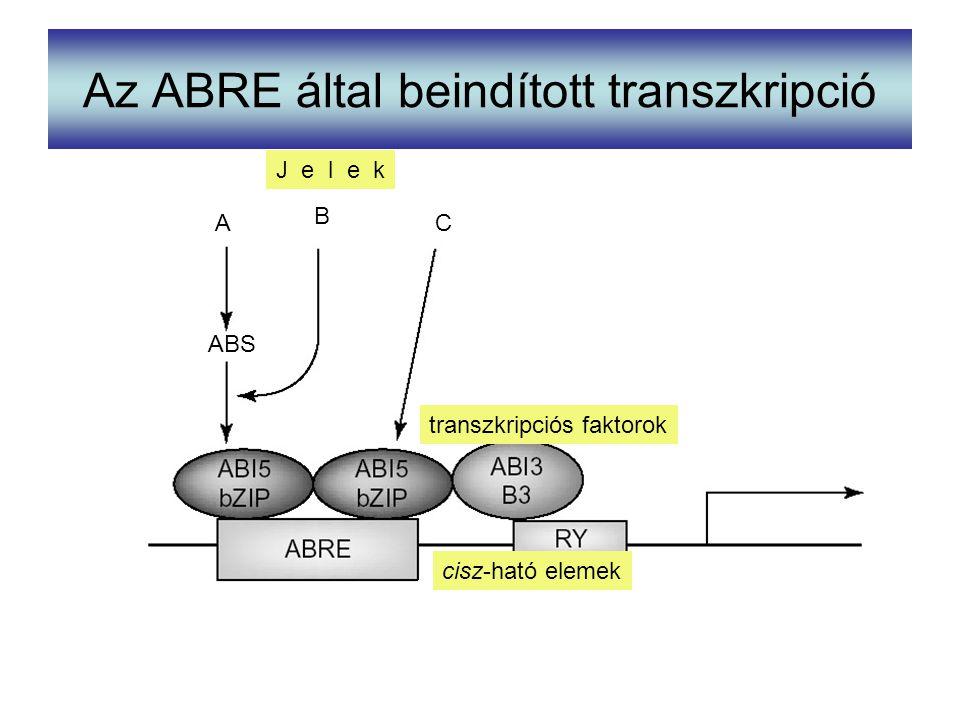 Az ABRE által beindított transzkripció ABS A B C J e l e k transzkripciós faktorok cisz-ható elemek