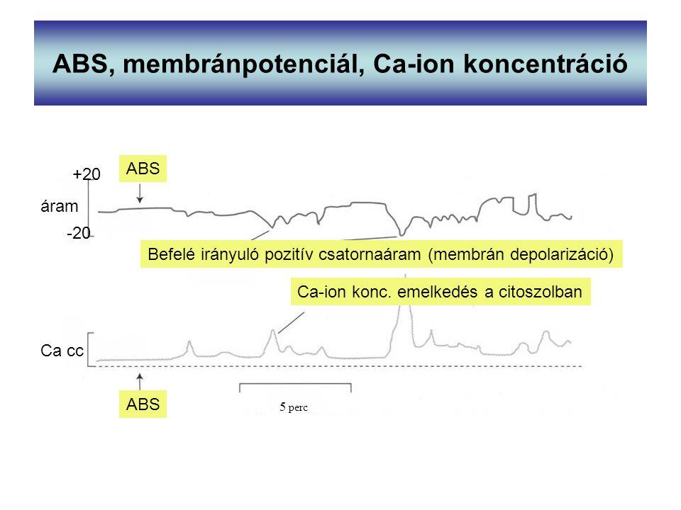 ABS, membránpotenciál, Ca-ion koncentráció Befelé irányuló pozitív csatornaáram (membrán depolarizáció) Ca-ion konc. emelkedés a citoszolban ABS Ca cc
