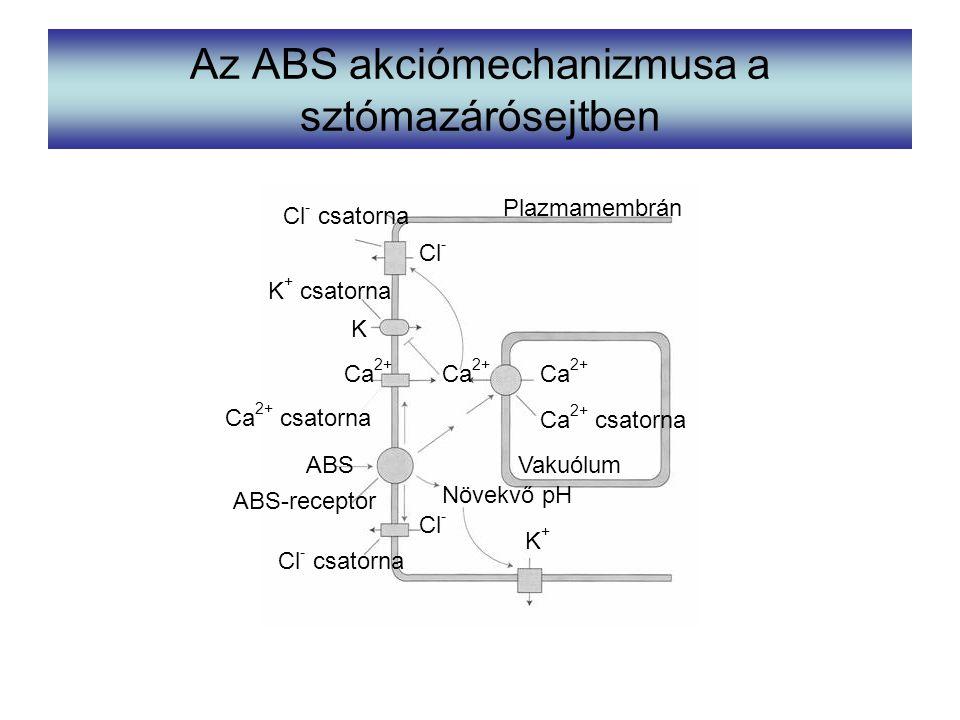Az ABS akciómechanizmusa a sztómazárósejtben Ca 2+ Ca 2+ csatorna Vakuólum K+K+ Növekvő pH ABS ABS-receptor Cl - csatorna Cl - Ca 2+ csatorna Ca 2+ K