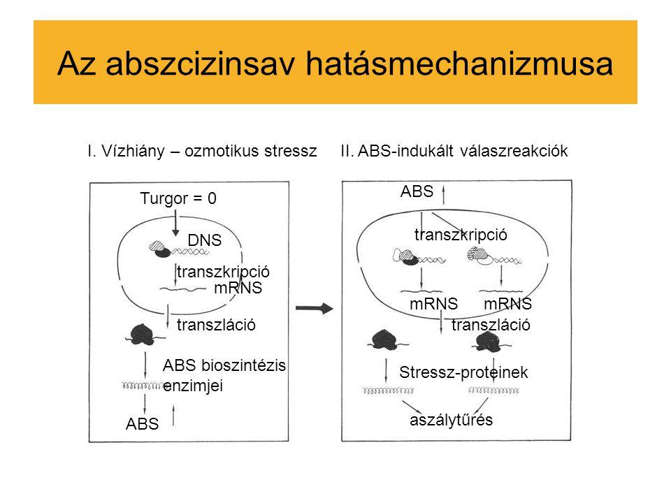 Az abszcizinsav hatásmechanizmusa Turgor = 0 DNS transzkripció mRNS transzláció ABS bioszintézis enzimjei ABS I. Vízhiány – ozmotikus stresszII. ABS-i