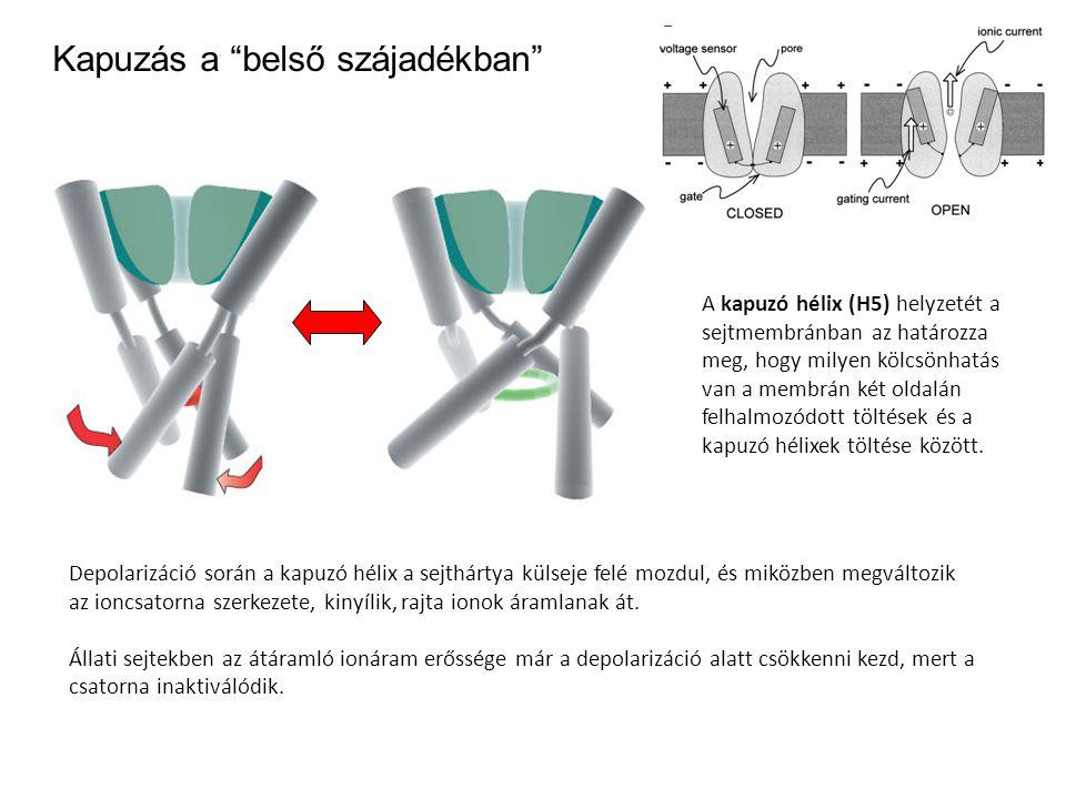 """Kapuzás a """"belső szájadékban"""" Depolarizáció során a kapuzó hélix a sejthártya külseje felé mozdul, és miközben megváltozik az ioncsatorna szerkezete,"""