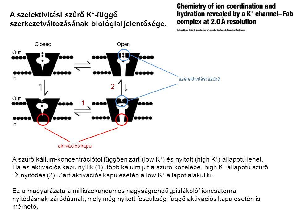 A szűrő kálium-koncentrációtól függően zárt (low K + ) és nyitott (high K + ) állapotú lehet. Ha az aktivációs kapu nyílik (1), több kálium jut a szűr