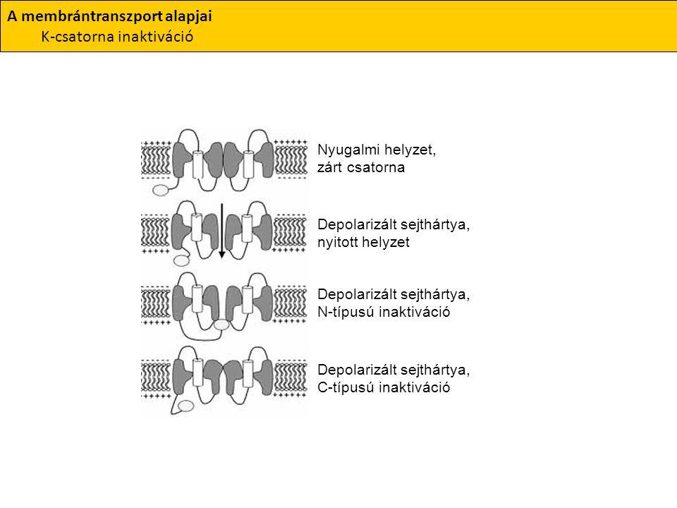 A membrántranszport alapjai K-csatorna inaktiváció Nyugalmi helyzet, zárt csatorna Depolarizált sejthártya, nyitott helyzet Depolarizált sejthártya, N