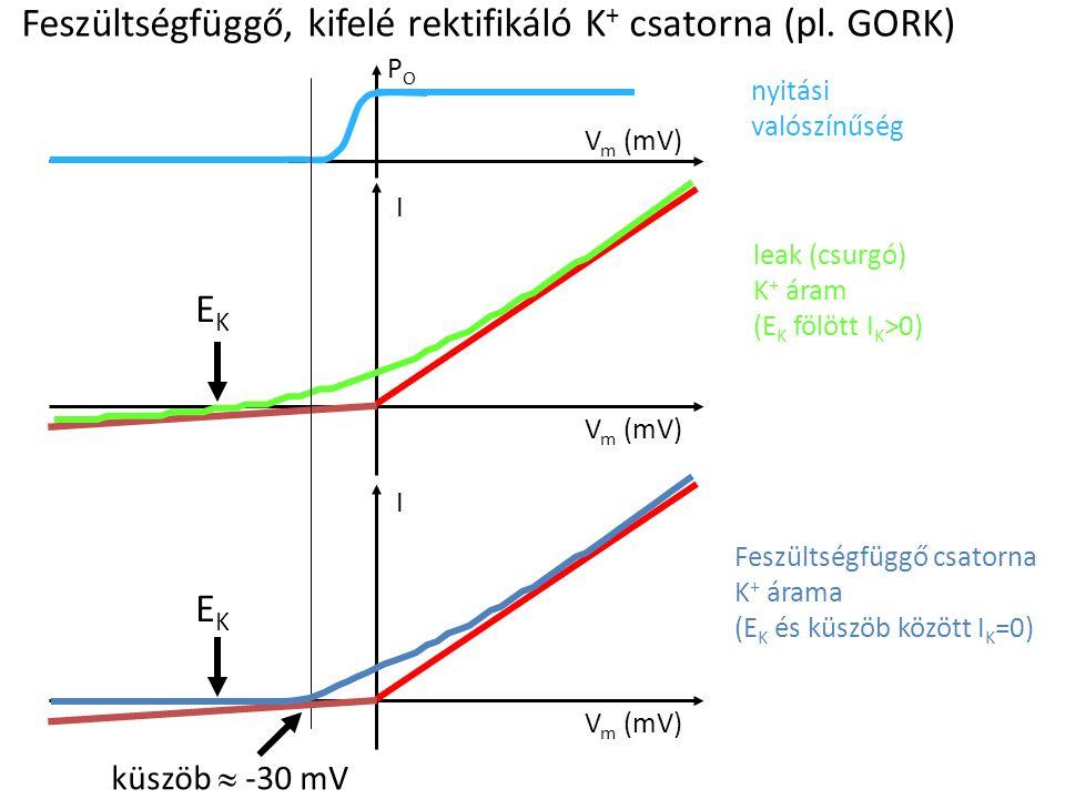 Feszültségfüggő, kifelé rektifikáló K + csatorna (pl. GORK) I V m (mV) EKEK nyitási valószínűség leak (csurgó) K + áram (E K fölött I K >0) I V m (mV)