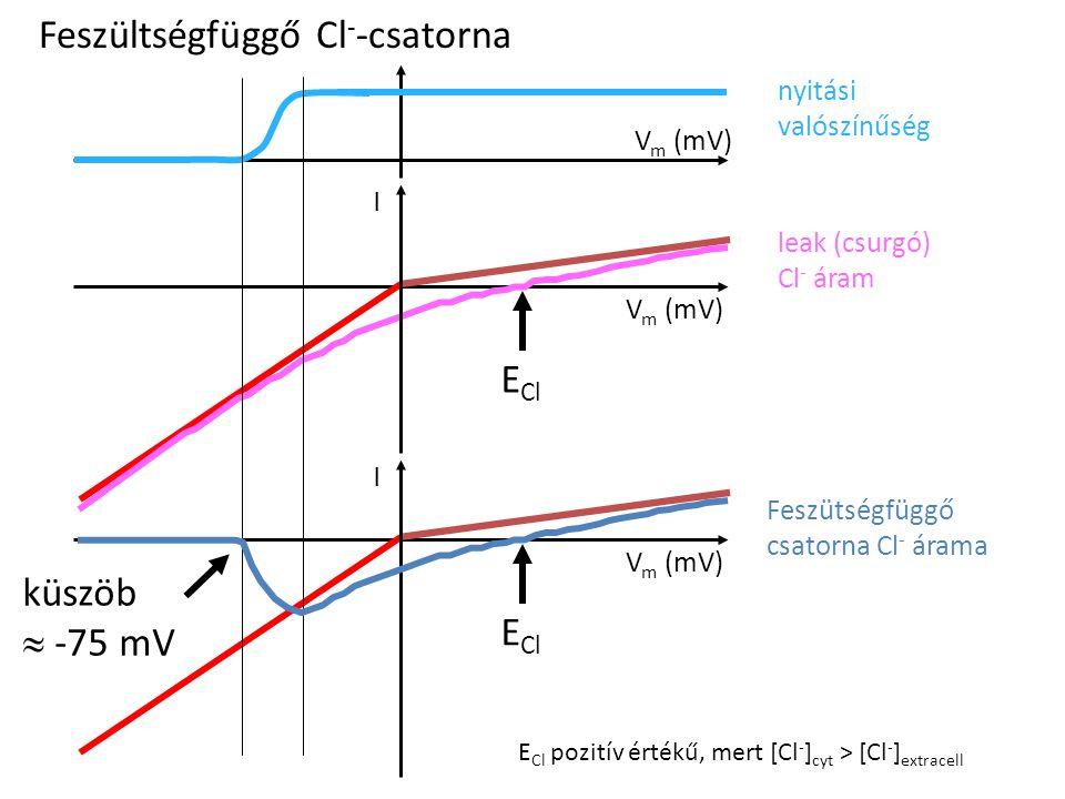 Feszültségfüggő Cl - -csatorna I V m (mV) E Cl V m (mV) E Cl nyitási valószínűség leak (csurgó) Cl - áram Feszütségfüggő csatorna Cl - árama küszöb 