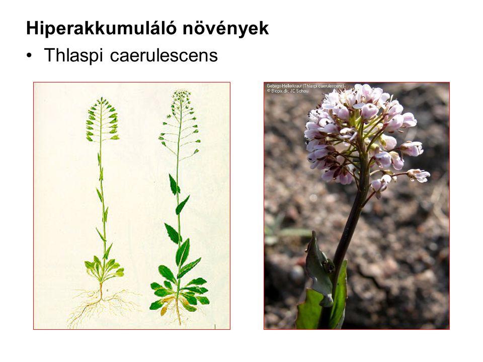 Hiperakkumuláló növények Thlaspi caerulescens