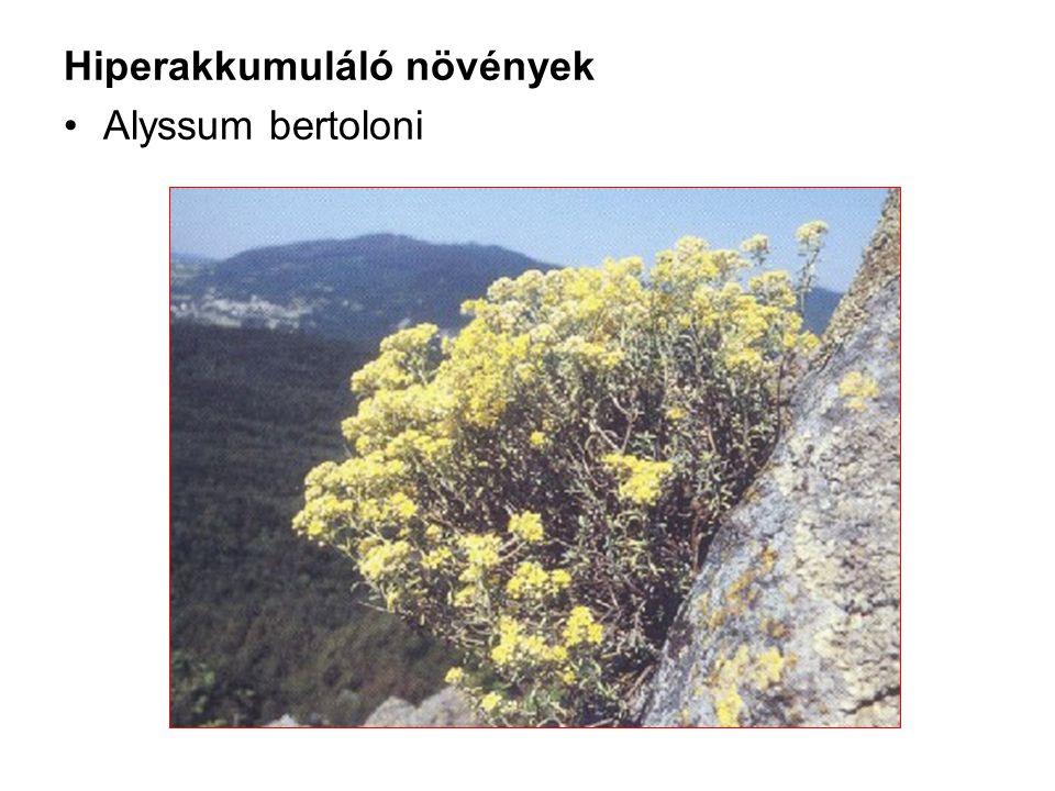 Hiperakkumuláló növények Alyssum bertoloni