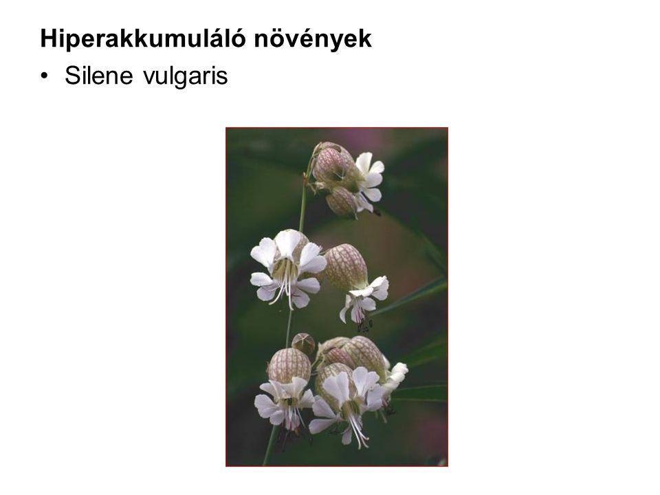 Hiperakkumuláló növények Silene vulgaris