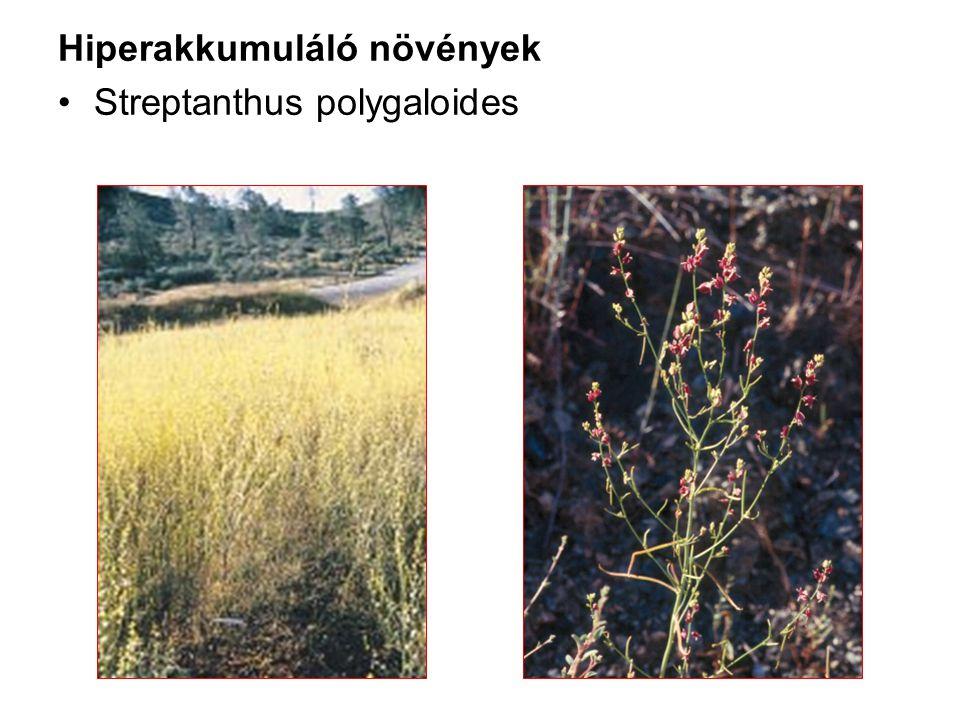 Hiperakkumuláló növények Streptanthus polygaloides