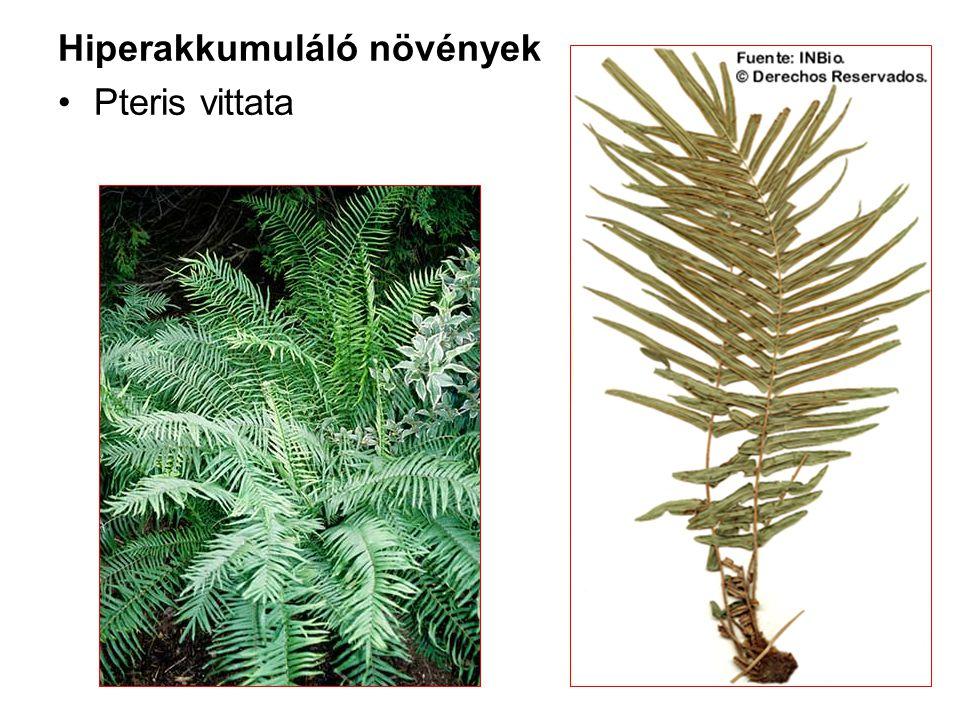 Hiperakkumuláló növények Pteris vittata
