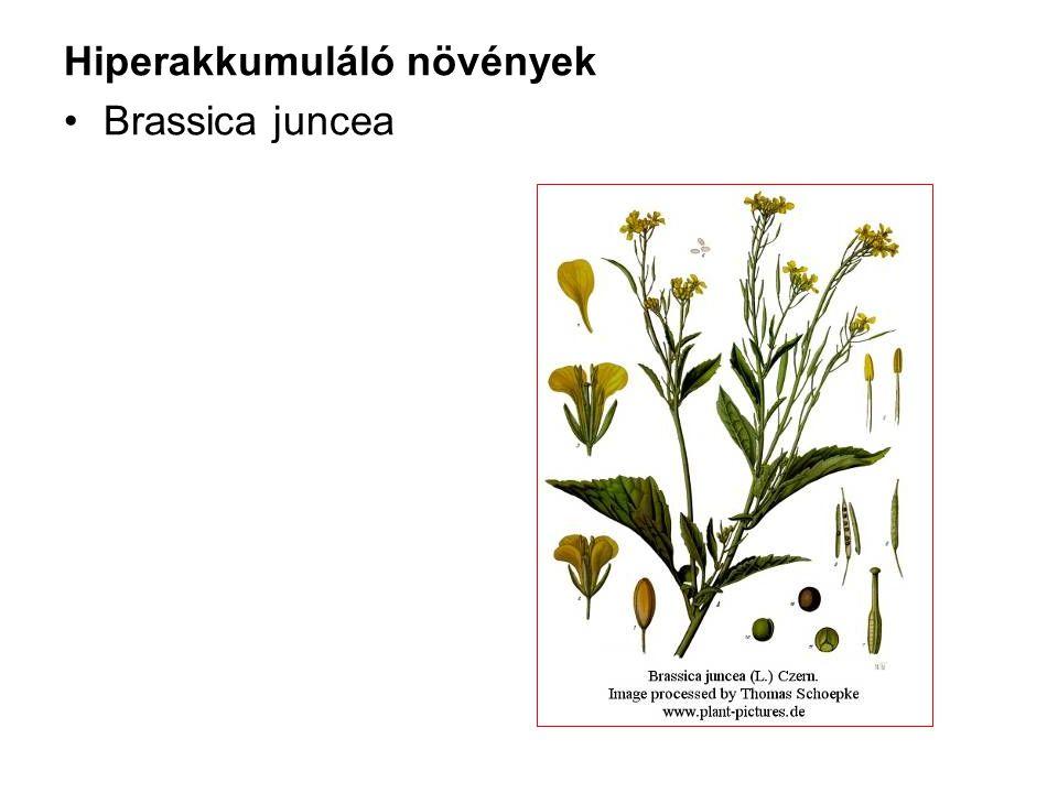 Hiperakkumuláló növények Brassica juncea