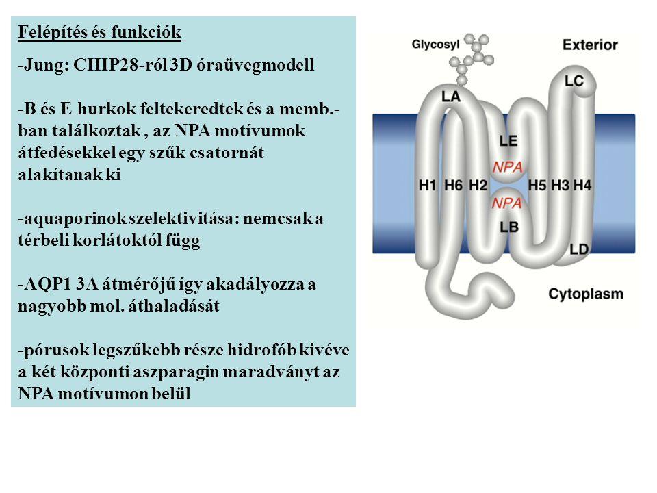Felépítés és funkciók -Jung: CHIP28-ról 3D óraüvegmodell -B és E hurkok feltekeredtek és a memb.- ban találkoztak, az NPA motívumok átfedésekkel egy szűk csatornát alakítanak ki -aquaporinok szelektivitása: nemcsak a térbeli korlátoktól függ -AQP1 3A átmérőjű így akadályozza a nagyobb mol.