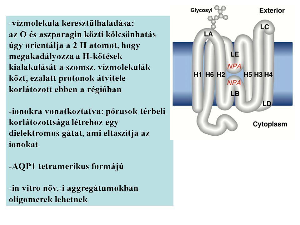 -vízmolekula keresztülhaladása: az O és aszparagin közti kölcsönhatás úgy orientálja a 2 H atomot, hogy megakadályozza a H-kötések kialakulását a szomsz.