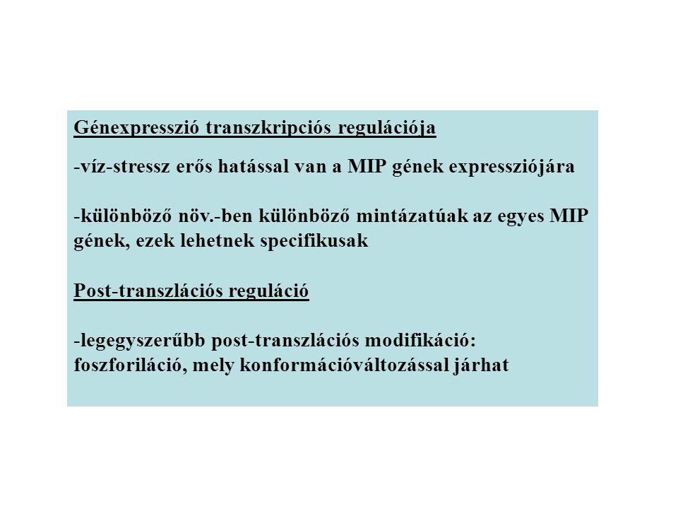 Génexpresszió transzkripciós regulációja -víz-stressz erős hatással van a MIP gének expressziójára -különböző növ.-ben különböző mintázatúak az egyes MIP gének, ezek lehetnek specifikusak Post-transzlációs reguláció -legegyszerűbb post-transzlációs modifikáció: foszforiláció, mely konformációváltozással járhat