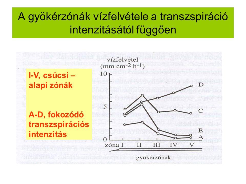 A gyökérzónák vízfelvétele a transzspiráció intenzitásától függően I-V, csúcsi – alapi zónák A-D, fokozódó transzspirációs intenzitás