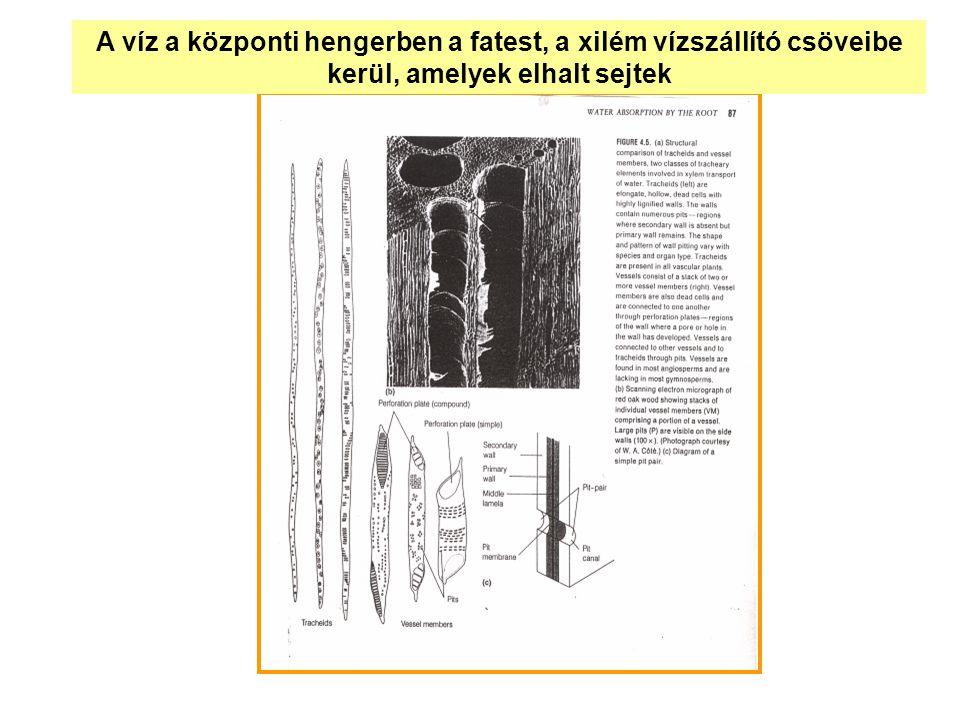 A víz a központi hengerben a fatest, a xilém vízszállító csöveibe kerül, amelyek elhalt sejtek
