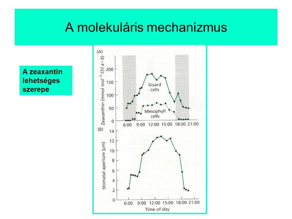 A zeaxantin lehetséges szerepe